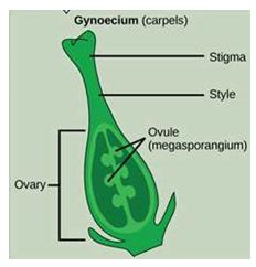 female plant reproductive part