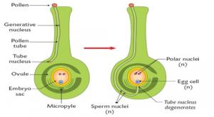 fertilization in flowers