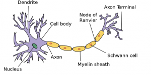 human nerve cell image