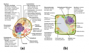 sketches of plant and human cell