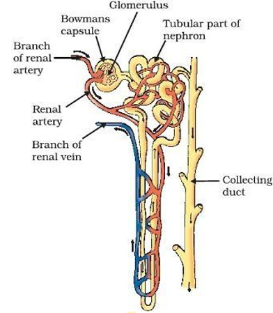 Diagram of nephron